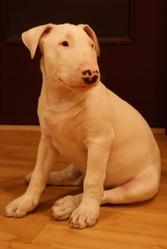 Продам щенка бультерьера