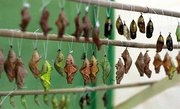 Высоко рентабельный  бизнес ферма Живых Восхитительных Бабочек  из Пакистана