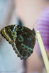 Высоко прпбыльный бизнес ферма Живых Восхитительных Бабочек  из Индонезии